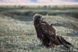 Golden eagle sits in the steppe.