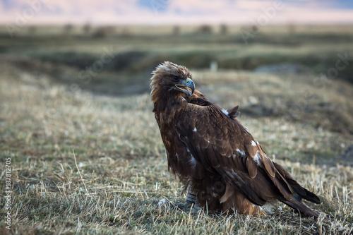 Plexiglas Eagle Golden eagle sits in the steppe.
