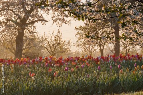 Fotobehang Tulpen Beautiful springtime morning