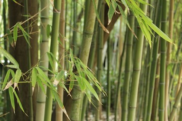 Forest of bamboo canes