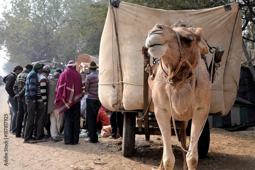 Fotobehang Kameel Camel Attending a Shoe-Shine Session with Audience in Rajasthan