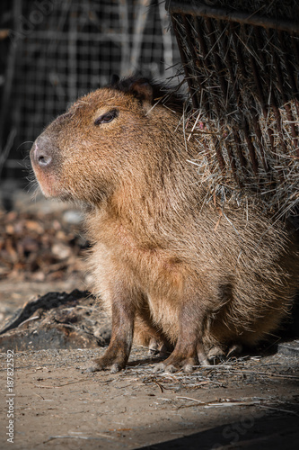 close up of biggest rodent capybara taking sun