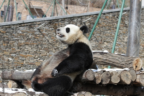 Fotobehang Panda Giant Panda is Taking a Sun Bath in Winter Time