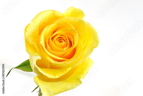 Foto Murales Single yellow rose isolated on the white background