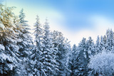 Natural white snow, hoarfrost on the branches, the needles of Siberian pine,spruce in dark coniferous forest, beautiful winter background scenery   - 187837575