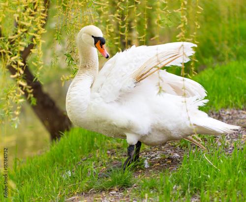 Fotobehang Zwaan Beautiful white swan on nature in spring