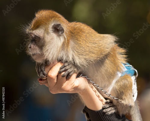 Aluminium Aap Monkey in the hands of the zoo
