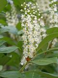 Kirschlorbeer, Prunus laurocerasus, Blüten