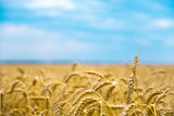 Wheat field in summer. The ripening of the harvest. Wheat closeup. Golden field and cloudy sky. - 187843918