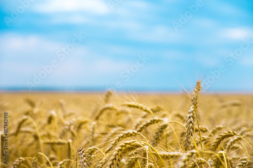 Foto Murales Wheat field in summer. The ripening of the harvest. Wheat closeup. Golden field and cloudy sky.