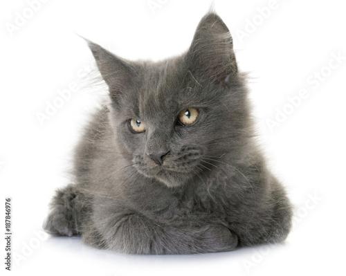 Aluminium Kat maine coon kitten