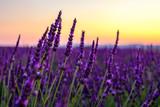 Fleurs de lavande gros plan, coucher de soleil.