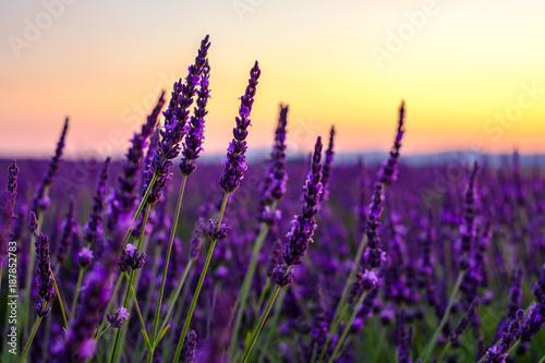 Fotobehang Lavendel Fleurs de lavande gros plan, coucher de soleil.