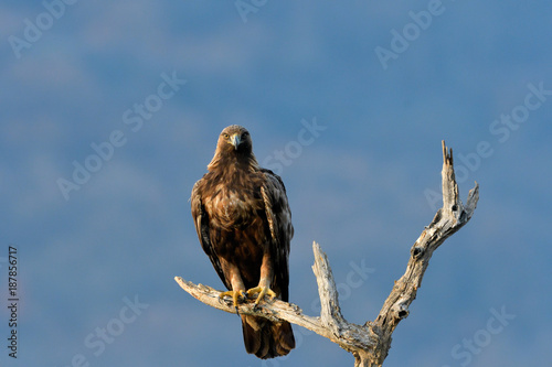 Foto Murales Golden Eagle on a Branch