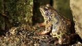 A big wet frog hides close up dolly shot - 187856927