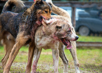 Dog fights. Fight two big wolfhounds. Central Asian Shepherd Dogs