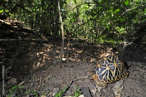 Sternschildkröte (Geochelone elegans) - Indian star tortoise / Sri Lanka