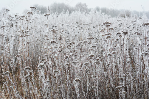 Beautiful hoarfrost on the yarrow and bush branches with white fog.