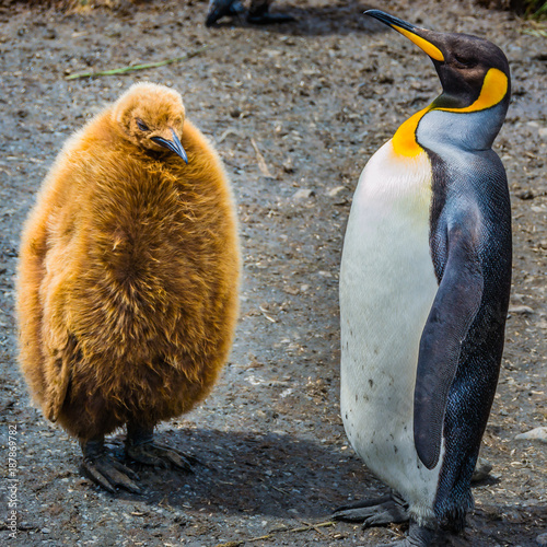 Papiers peints Antarctique Adult King Penguin chastises and teaches the guilty kid chick king penguin , South Georgia, Antarctica