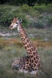 Giraffe sitting in grass, profile