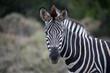 Zebra facing camera