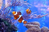 Clownfish, Amphiprioninae, in aquarium tank with reef as background. - 187883966