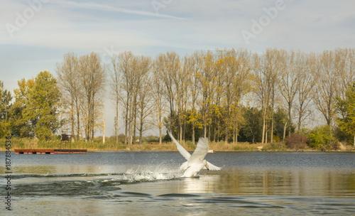 Fotobehang Zwaan Swans on the pond
