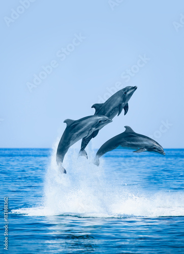Fototapeta Group of jumping dolphins, beautiful seascape and blue sky