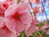 桜の花 - 187900153