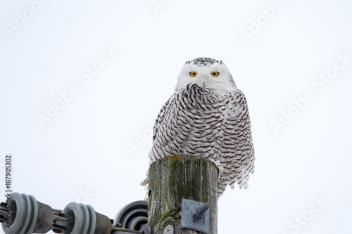 Snowy Owl Sitting on a Utility Post