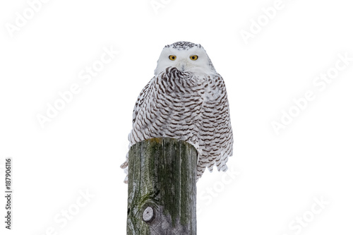 Snowy Owl Isolated on White