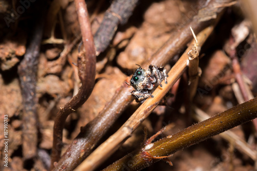 Black and White striped Jumping spider (salticidae) sitting on a leaf, Nosy Komba, Madagascar - 187910783