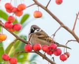 Tree sparrow sitting in an apple tree
