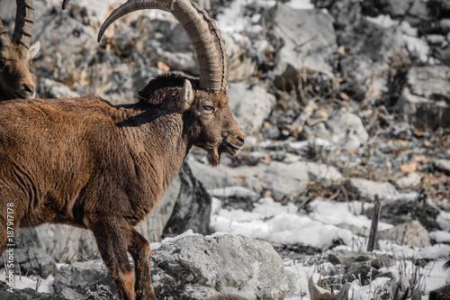 Foto Murales portrait of ibex in winter season