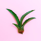 Aloe Minimal Plant on pink - 187924124