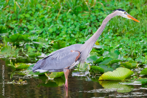 Foto Murales Beautiful tri colored heron