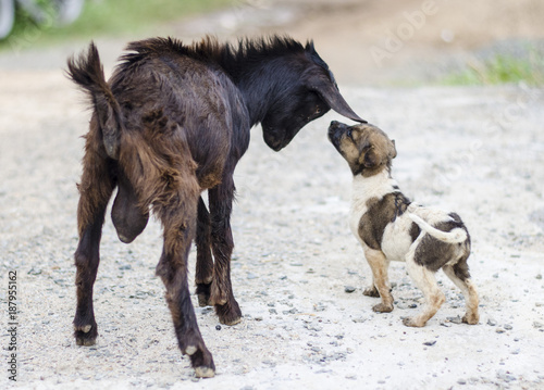 Fotobehang Paarden Dog playing with goat