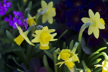Narzissen im Blumenbeet