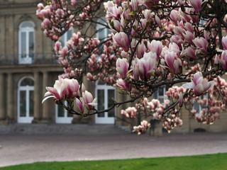 Magnolienblüte vor dem Neuen Schloss, Stuttgart