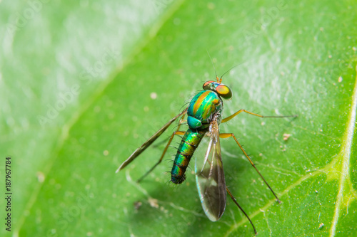 Foto Murales Macro Insect the long legged flies on the green leaf