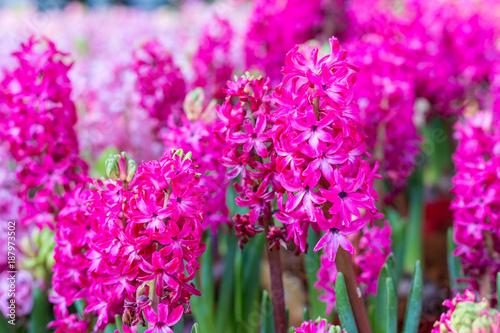 Hyacinth, Hyacinthus litwinowii Hyacinthus orientalis, - 187973502