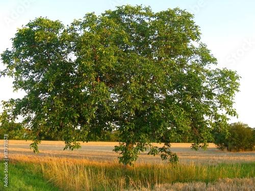 Foto Murales Walnussbaum in der Abendsonne