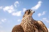 Portrait of a falcon. - 187995194