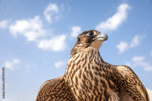 Poster Abu Dhabi Portrait of a falcon.