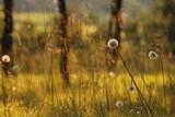 Prato in estate con erba e fiori di dente di leone.