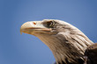 American eagle face expression. Close up bottom view