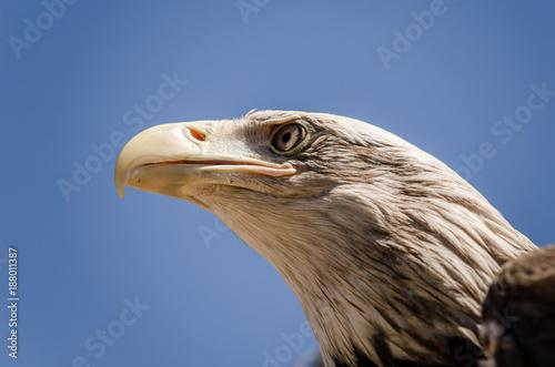 Plexiglas Eagle American eagle face expression. Close up bottom view