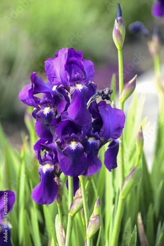 Fotobehang Iris Purple iris flowers