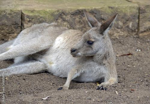 Fotobehang Kangoeroe Eastern Grey Kangaroo, seen around outer rural areas of Sydney and Melbourne, Australia