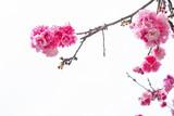 Cherry blossom, saku...